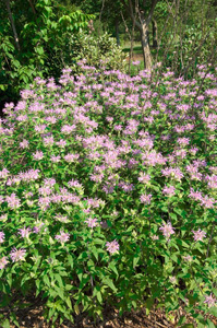 Appalachian Bergamot / Monarda fistulosa