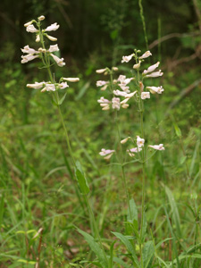 Southern Beardtongue / Penstemon australis