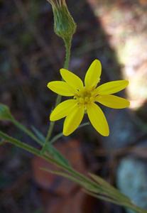 Grass-leaved Goldenaster, Narrowleaf Silkgrass / Pityopsis graminifolia