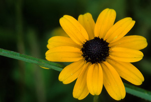 Orange Coneflower, Brown-eyed Susan / Rudbeckia fulgida
