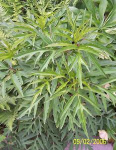 Cutleaf Coneflower / Rudbeckia laciniata