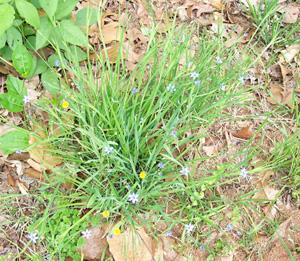 Blue-eyed-grass, Narrowleaf Blue-eyed-grass / Sisyrinchium angustifolium