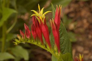 Indian-pink, Woodland Pinkroot / Spigelia marilandica