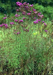 Narrowleaf Ironweed, Tall Ironweed / Vernonia angustifolia