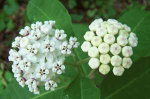 White Milkweed / Asclepias variegata