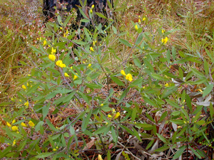 Gopherweed / Baptisia lanceolata