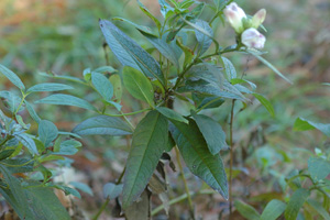 White Turtlehead / Chelone glabra