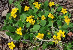 Green-and-gold / Chrysogonum virginianum