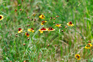 Plains Tickseed, Golden Tickseed / Coreopsis tinctora