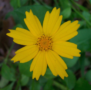 Lobed Coreopsis, Tickseed, Eared Coreopsis / Coreopsis auriculata