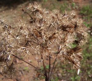 Joe-Pye Weed, Trumpetweed / Eutrochium fistulosum (syn. Eupatorium fistulosum)