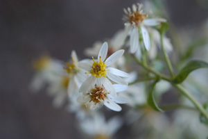 White Wood Aster, Heartleaf Aster / Eurybia divaricata (syn. Aster divaricatus)