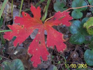 Wild Geranium, Cranesbill Geranium / Geranium maculatum