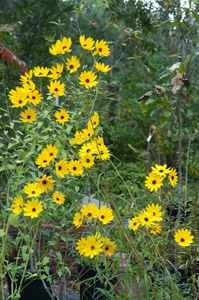 Narrowleaf Sunflower, Swamp Sunflower / Helianthus angustifolius