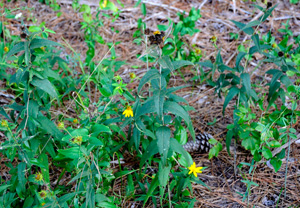 Woodland Sunflower, Rough Sunflower / Helianthus divaricatus