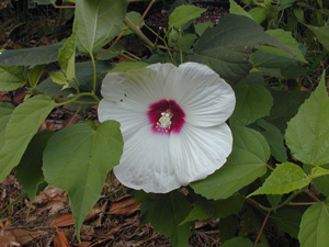 Crimson-eyed Rose Mallow, Marsh Mallow / Hibiscus moscheutos