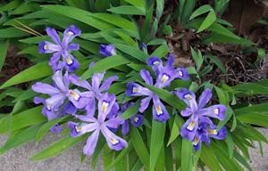 Dwarf Crested Iris / Iris cristata