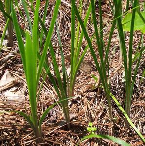 Dwarf Violet Iris / Iris verna