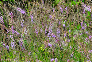 Dense Blazing Star, Marsh Blazing Star / Liatris spicata