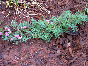 Eastern Sensitive Briar / Mimosa microphylla