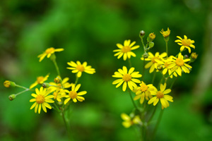 Golden Ragwort, Golden Groundsel / Packera aurea (syn. Senecio aureus)