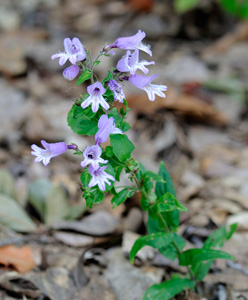Small's Beardtongue / Penstemon smallii