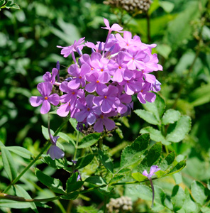 Carolina Phlox, Thickleaf Phlox / Phlox carolina