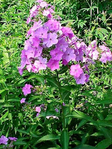 Wild Sweet William, Meadow Phlox / Phlox maculata