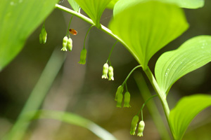 Solomon's-seal, Small Solomon's Seal, Smooth Solomon's Seal / Polygonatum biflorum