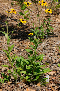 Brown-eyed Susan, Three-lobed Coneflower / Rudbeckia triloba