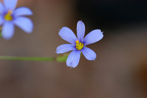 Blue-eyed-grass, Narrowleaf Blue-eyed-grass / Sisyrinchium angustifolium