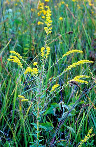 Wrinkle-leaf Goldenrod, Rough-stemmed Goldenrod / Solidago rugosa