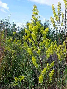 Showy Goldenrod / Solidago speciosa