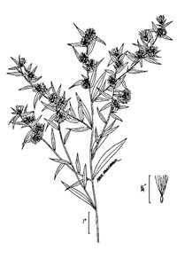 Calico Aster / Symphyotrichum lateriflorum (syn. Aster lateriflorus)