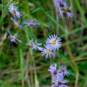 Late Purple Aster / Symphyotrichum patens (syn. Aster patens)