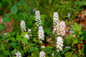 Foamflower, Heartleaf Foamflower, Allegheny Foamflower / Tiarella cordifolia