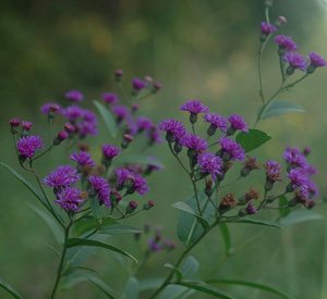 Narrowleaf Ironweed, Tall Ironweed / Vernonia angustifolia