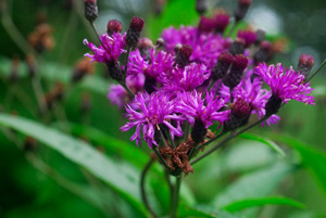 Ironweed, New York Ironweed / Vernonia noveboracensis