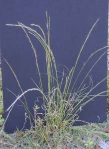 Arrowfeather Threeawn / <em>Aristida purpurascens</em>