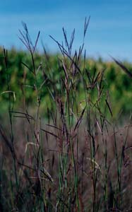 Big Bluestem, Turkeyfoot /