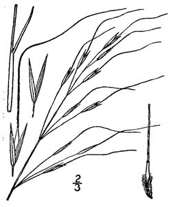 Blackseed Speargrass, Blackseed