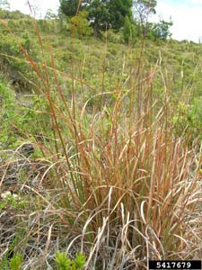 Broomsedge / Andropogon virginicus