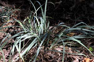 Southern Waxy Sedge /