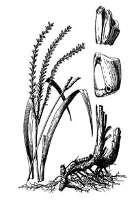 Eastern Gamagrass /