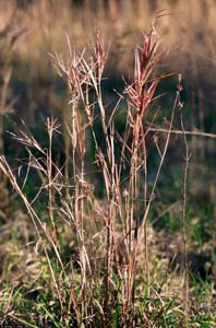 Elliot?s Bluestem, Elliot?s Beardgrass, Elliot?s Broomsedge / Andropogon gyrans (Syn. Andropogon elliottii)