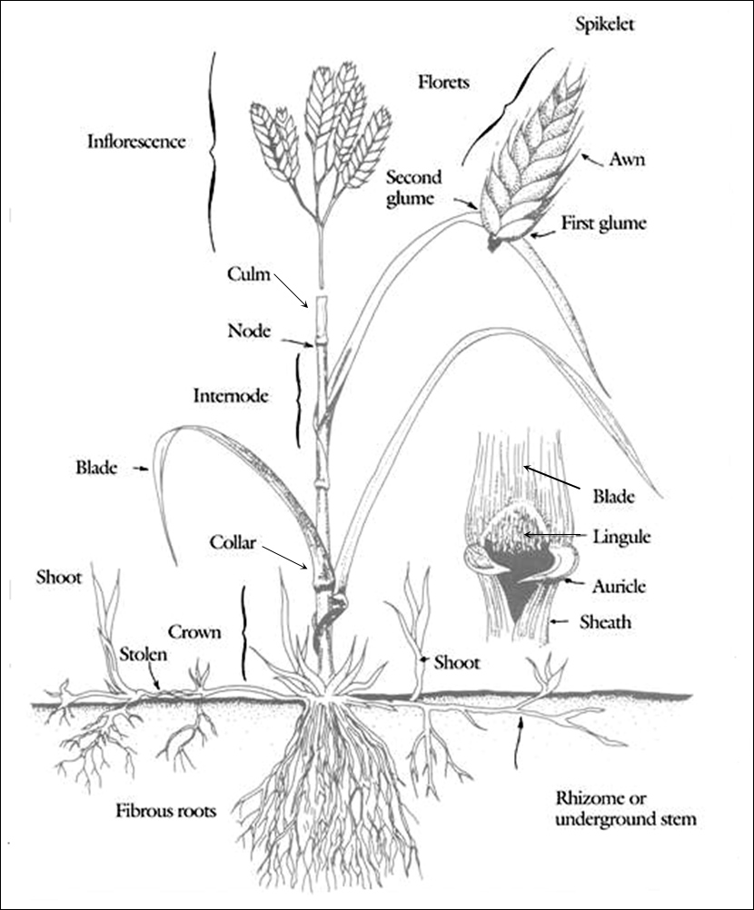 Figure 1. Parts of Grass and Sedge Plants (Credit: National Drought Mitigation Center, Lincoln, Neb.).