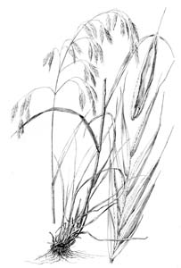 Hairy Woodland Brome, Common Eastern Brome /