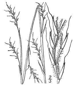 Little Bluestem, Bunchgrass /