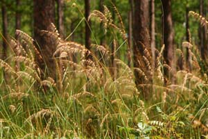 Lopsided Indian Grass /