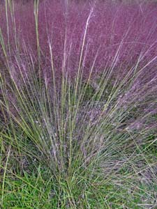 Pink Muhly Grass, Hair-awn Muhly Grass